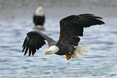 Bald Eagle in flight with Salmon in Talons - Shetzers Photography