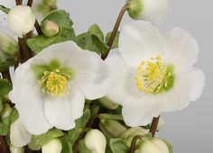 Helleborus 'Verboom Beauty' - This unique new hellebore is the first white-flowered form that has the potential to be in flower on Christmas day. If kept in a pot, it can be brought inside in November (to a bright spot well away from a radiator) and it should soon produce masses of buds that open over several weeks. After 4 - 5 weeks, it should be gradually acclimatised to outdoor temperatures and then planted out in the garden