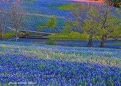 Springtime in TEXAS! BREATHTAKING Bluebonnets in Fredericksburg, TX. by karen.x