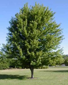 Pick the trees you want to use in your Utah County landscape design Autumn Blaze Maple, Trees For Front Yard, Closer To Nature, Garden Care, Garden Trees, Trees And Shrubs, Yard Landscaping, Perennials, Landscape Design