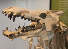 """The """"hell pig"""" Archaeotherium at the Natural History Museum of Los Angeles."""