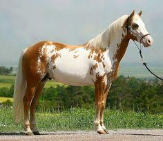 Paint stallion, palomino frame sabino.