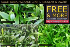 Sagittaria, Giant, Regular, Dwarf, Live Aquarium Plants,  6 Plants Total + FREE