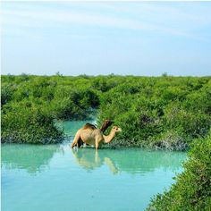 #Camels refreshing in #Hara #forests, #Qeshm #Island. #Iran #PersianGulf @Iranlandscape #photo: #HoomanArbabi