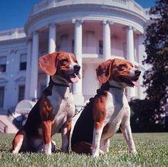 Beagles famosos: Him & Her, la parejita del ex-Presidente de los Estados Unidos Lyndon B. Johnson, Agostot 18, 1964