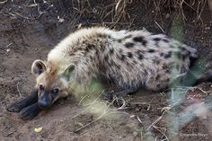 Cute Baby Animals, Animals And Pets, Coyotes, Brown Hyena, Lion Of Judah, Wild Creatures, Wild Dogs, Animals Of The World, Spirit Animal