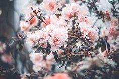 pink, flowers, flowery