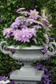 Raymond Evison clematis - Clematis Crystal Fountain So what's the name? Raymond Evison or Crystal Fountain? Whatever it is... looks good in this urn.