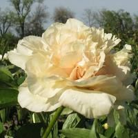 http://hollingsworthpeonies.com/breeding