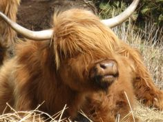 Scottish Highland Cattle. Sabine Wieczorek has 22 of these as pets. She grooms them and crochets hats with their hair.