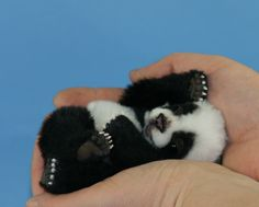 How stinking cute! Fits in your palm baby panda! Look at those tiny paws.