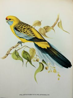 Yellow Rumped Parrakeet (Yellow Rosella) from Tropical Birds by John Gould. Birds Painting, Animal Art, Wildlife Artwork, John Gould, Vintage Birds, Art, Bird Illustration, Graphic Art, Bird Art