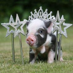 Умилительные маленькие свинки (20 фото)