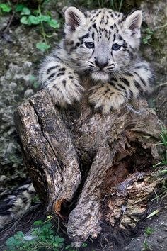 Snow leopard cub posing on a stump.. en Tumblr