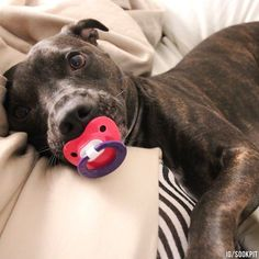 Pit Bull Photos That Prove They're The Snuggliest, Silliest, Coolest Dogs On The Block #pitbull