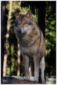 Wolf No. 01 by W0LLE on DeviantArt