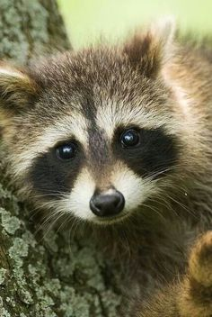 4.Nature -- Animals This is a great picture of a raccoon the use for a re-creation into make-up.