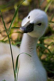 Baby swan so adorable! Cute Baby Animals, Farm Animals, Animals And Pets, Wild Animals, Beautiful Birds, Animals Beautiful, Regard Animal, Baby Swan, Swans