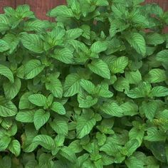 Chocolate Mint Plant - (Mentha piperita 'Chocolate') OH MY GOSHNESS! I just found this mint @ Lowes ( a little over and had to have it! Smells JUST like Girl Scout thin mint cookies! Creswell Creswell Alexander- you should plant this one! Permaculture, Chocolate Mint Plant, Chocolate Chocolate, National Iced Tea Day, Girl Scout Thin Mints, Mint Plants, Thin Mint Cookies, Kitchen Herbs, Naturaleza