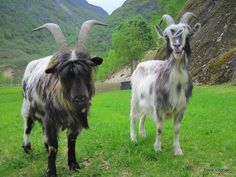 Norwegian goat breed from Norway is used for the production of milk and meat.