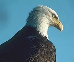 Eagle Awareness Weekends at Lake Guntersville State Park Beginning the Weekend in January 2013 through the weekend in February Alabama Guntersville Lake, Camping World Locations, Eagle Watch, Sweet Home Alabama, Best Location, The Great Outdoors, Eagles, Bald Eagle