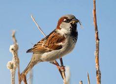 House Sparrow ( L: Passer domesticus / N: Gråspurv )