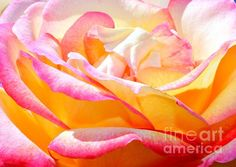 Layers of Beauty is of a stunning rose that is creamy yellow with pink tips on the petals. Basking in the Spanish sunlight this beauty of a rose just stood out from the rest of the flowers in the garden