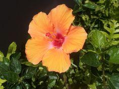Hibiscus ~ Hawaii State Flower