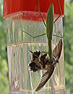 preying mantis stalking a hummingbird