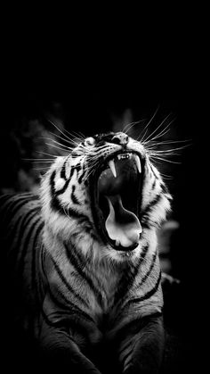 Black And White Tiger Image On High Definition Wallpaper on flowerswallpaper. - Black And White Tiger Image On High Definition Wallpaper on flowerswallpaper…., if you like it. Tiger Wallpaper Iphone, Wild Animal Wallpaper, Black And White Wallpaper Iphone, Iphone Wallpapers, Tiger Images, Tiger Pictures, Majestic Animals, Animals Beautiful, Cute Animals
