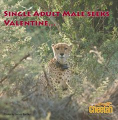 Meet HiFi, a wild male cheetah who comes catting around Cheetah Conservation Fund (CCF) on a regular basis. Maybe just like us, he's looking for love? CCF's mission is to save the cheetah in the wild. Show your wild side today by donating to CCF as part of our Valentine's Day fundraiser!