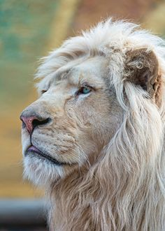 Lion (by Tambako The Jaguar on Flickr)