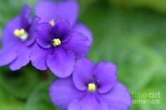 Purple African Violet A