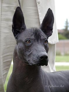 xoloitzcuintli. i would love to have this mexican hairless dog one day. the only hair they have is a mohawk. frida apparently owned some of these dogs