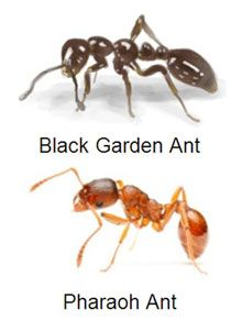 how to tell what kind of ant