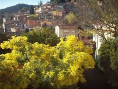 Provence. Mimosas flowering in february.