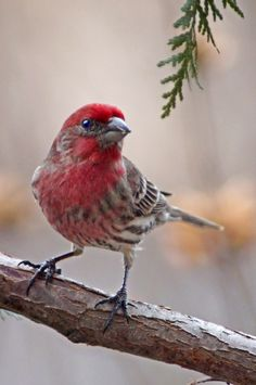 The Purple Finch (Haemorhous purpureus) is a bird in the finch family Fringillidae. Their breeding habitat is coniferous and mixed forest in Canada and the northeastern United States, as well as various wooded areas along the U.S. Pacific coast. They nest on a horizontal branch or in a fork of a tree