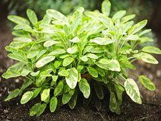 Image from http://www.boldsky.com/img/2014/07/18-sage-plant.jpg.