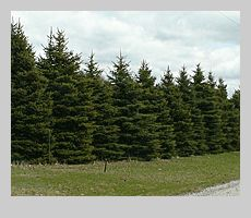 3 rows deep of evergreen trees (privacy screen), to hide my house from the road view