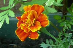 5 Fleurs Utiles au Potager | Conseils Jardinage Bio
