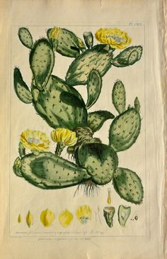 "Cactus Flower by Miller, London, 1760. Antique hand colored copper engraving of Opuntia or Cactus Flower by Phillip Miller from ""Figures of the Most Beautiful, Useful, and Uncommon Plants…"""