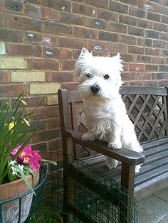 Mo Goatcher's West Highland White Terrier