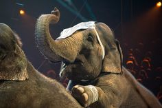 <p>A recent press release from Performing Animal Welfare Society (PAWS) announced that the city council of Los Angeles voted today to ban the use of wild animals in entertainment! </p>