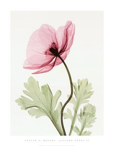 Iceland Poppy II by Steven N. Meyers. Radiographic print, c.2000.
