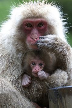 """The same pose"" Mother and baby Snow Monkey"
