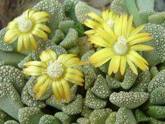 plantas suculentas | Imágenes para la búsqueda suculentas cactus