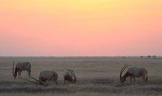 Scimitar-horned oryx grazing at the edge of the Sahara desert
