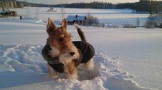 Foxterrier#finland#winter#-30degrees#
