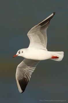 ˚Black-headed Gull
