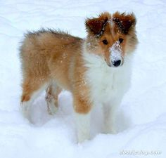 Rough Collie Puppy - There is nothing cuter than a collie puppy. Just the back of their heads can break your heart. ... They're not too shabby when they're grown up, either ;-) Consider a rescue collie! Wonderful pets. There as many around. This is one great group: www.TriStateCollieRescue.org